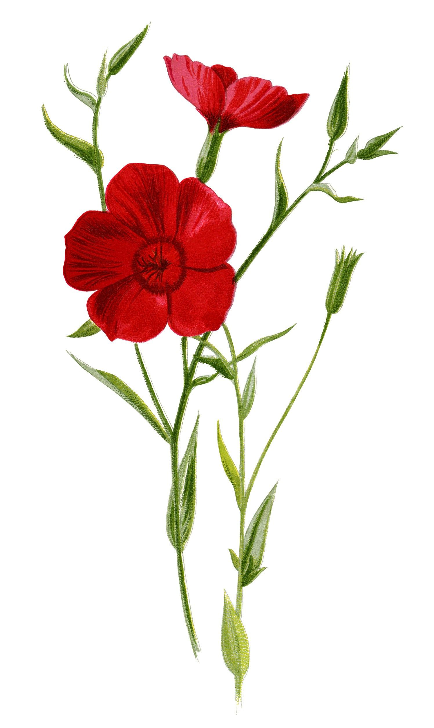 crimson flax, floral clip art, red flower illustration ...