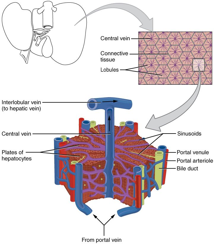 This image shows the microscopic anatomy of the liver. The top panel ...
