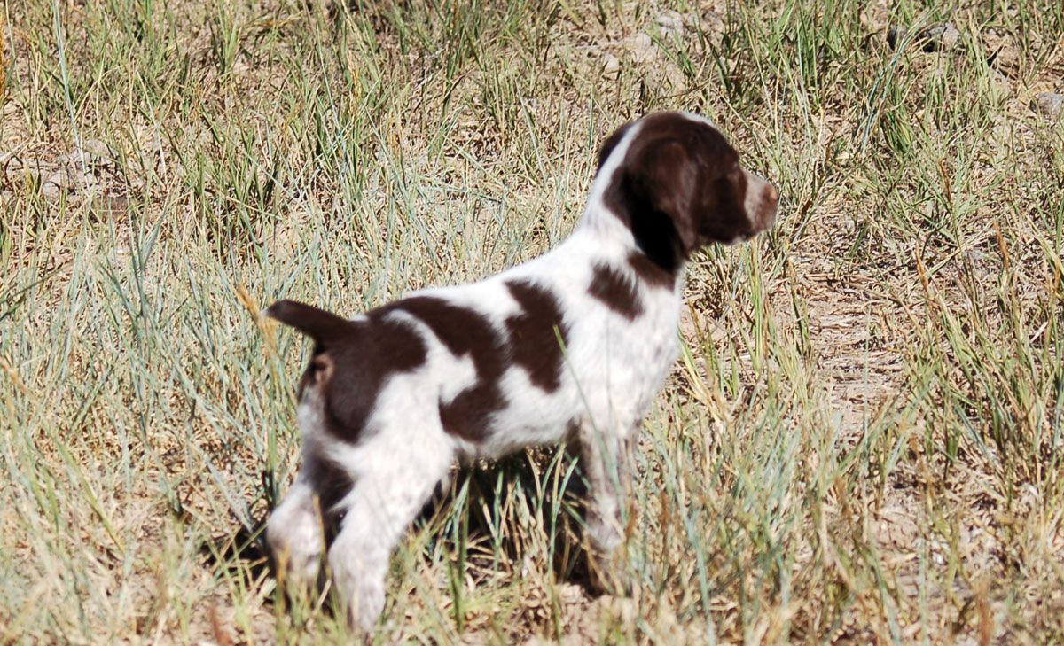 Brittany Male - Doc First Point 6wks | PETS | Brittany puppies for