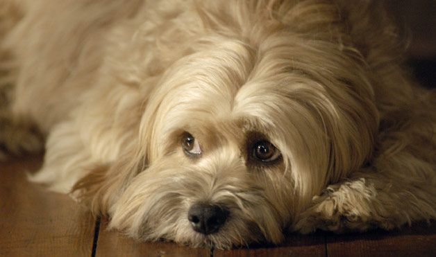 Famous Friends For Bo Scruffy Dogs Dog Breeds Medium Family Dogs Breeds