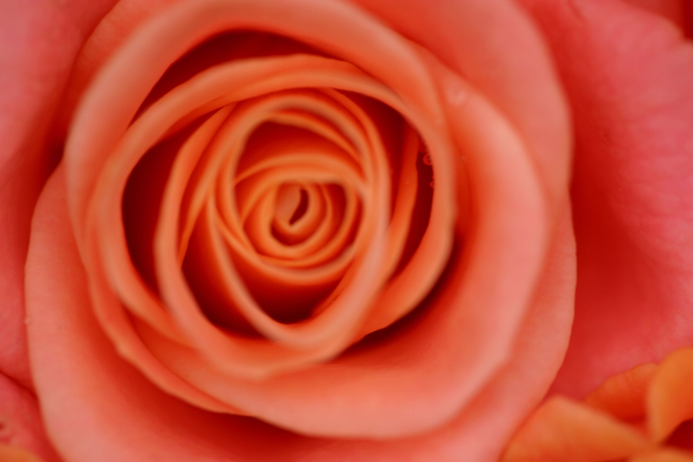 How to preserve a rose in resin crafts how to preserve