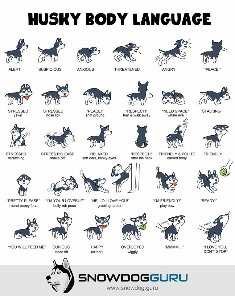 Husky Body Language Husky Activities Accessories And Cute Pics