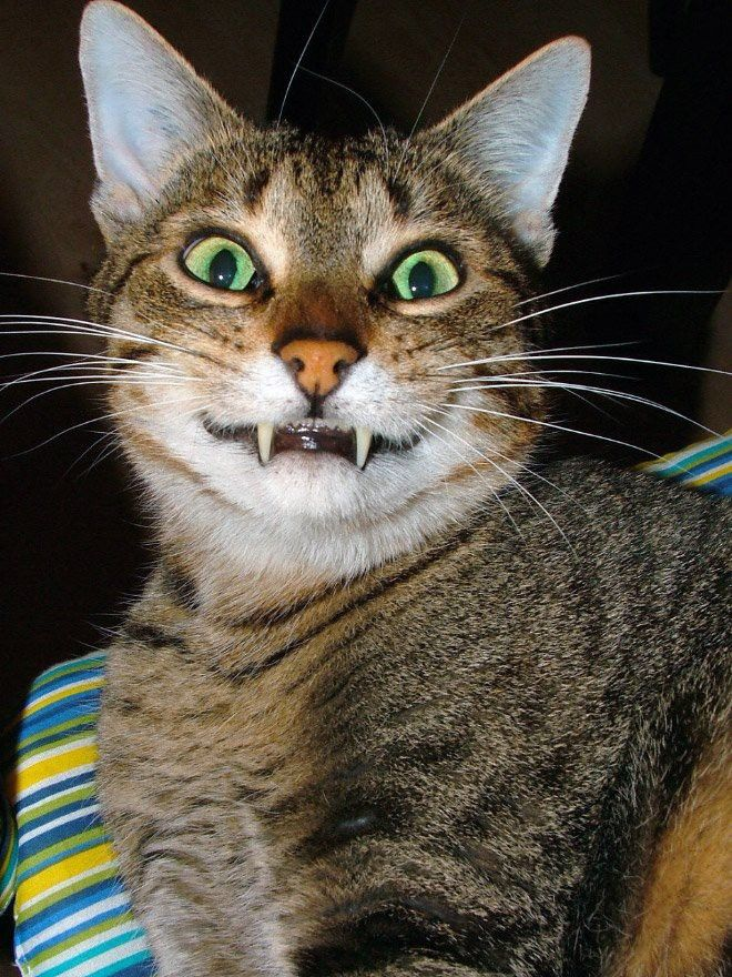 Зубастая улыбка в 2020 г   Кошки и котята, Смешные фото ...