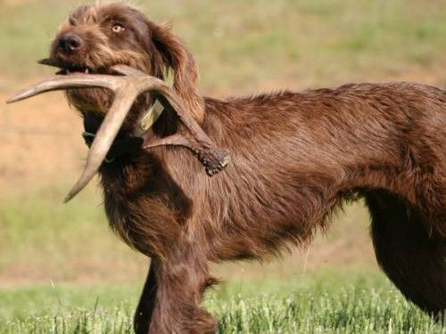 Pudelpointer Dog Breeds Dog Breeds Pictures Dogs