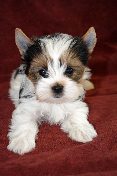 Biewer Pup Yorkie puppy, Yorkshire terrier puppies