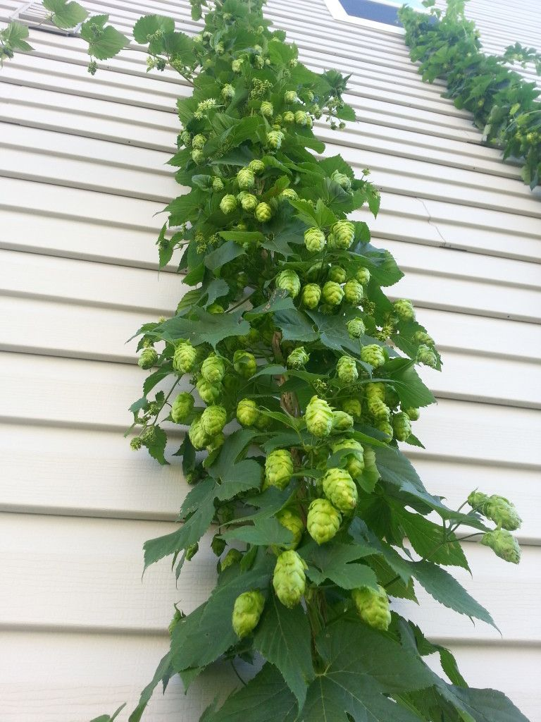 Growing hops at home part 6 downthehatch blog