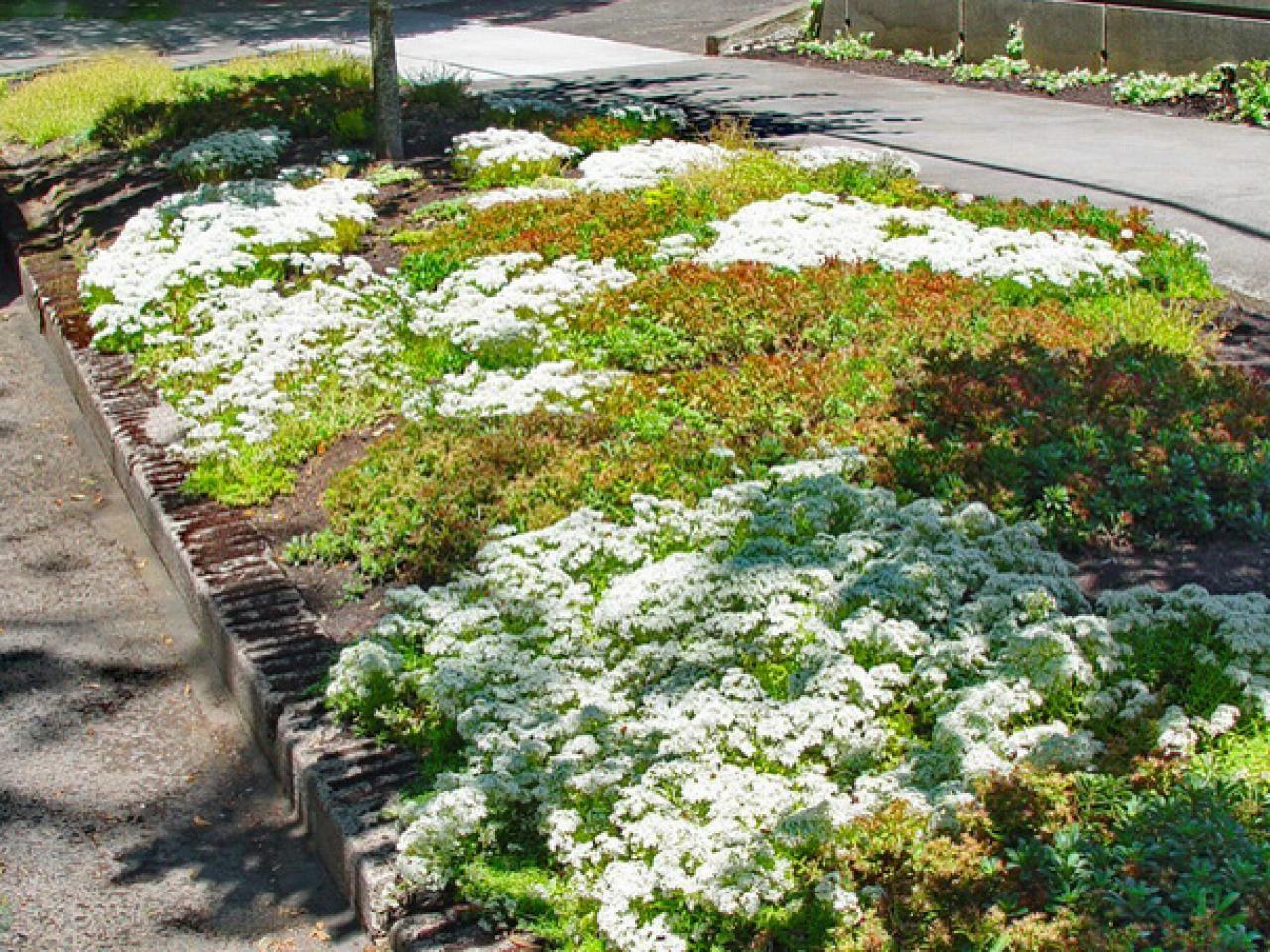 lawn alternative: coral carpet sedum (sedum album 'coral carpet