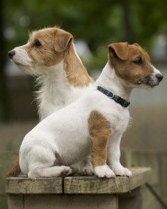 etherealthoughts | Cute dogs breeds, Cute dogs, Jack russell