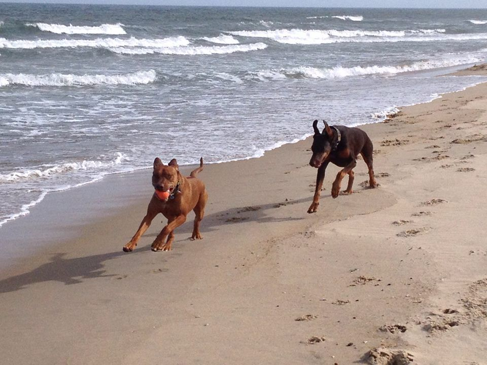 Stacey Pushnik- Doherty Dobie and Ridgeback chase;) — with Kevin Doherty.