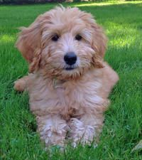 Willow The Labradoodle Labradoodle Puppies Labradoodle Puppy