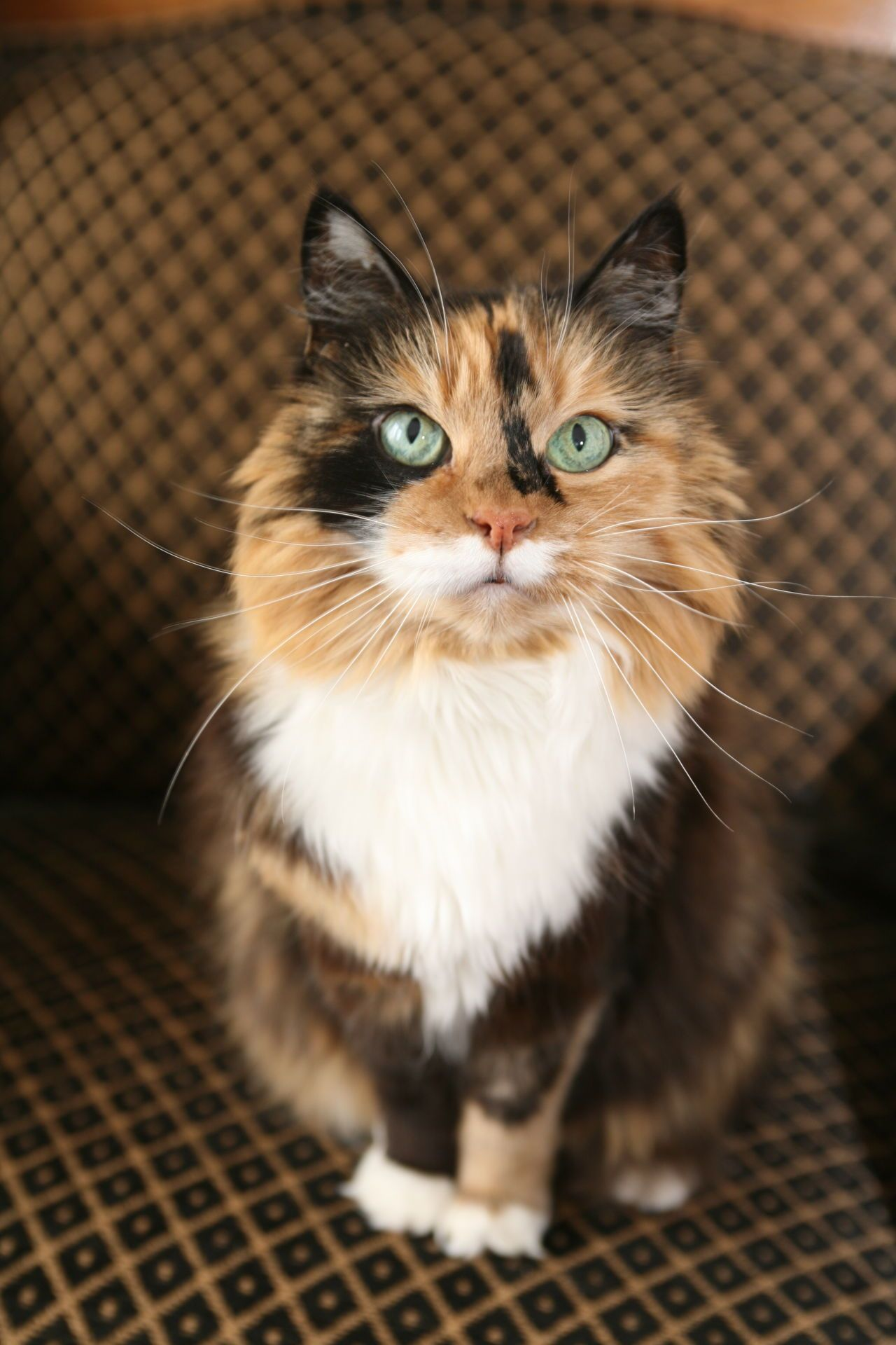 These Calico Cat Personality Traits Will Not Fail To Enchant You In 2020 Calico Cat Personality Calico Cat