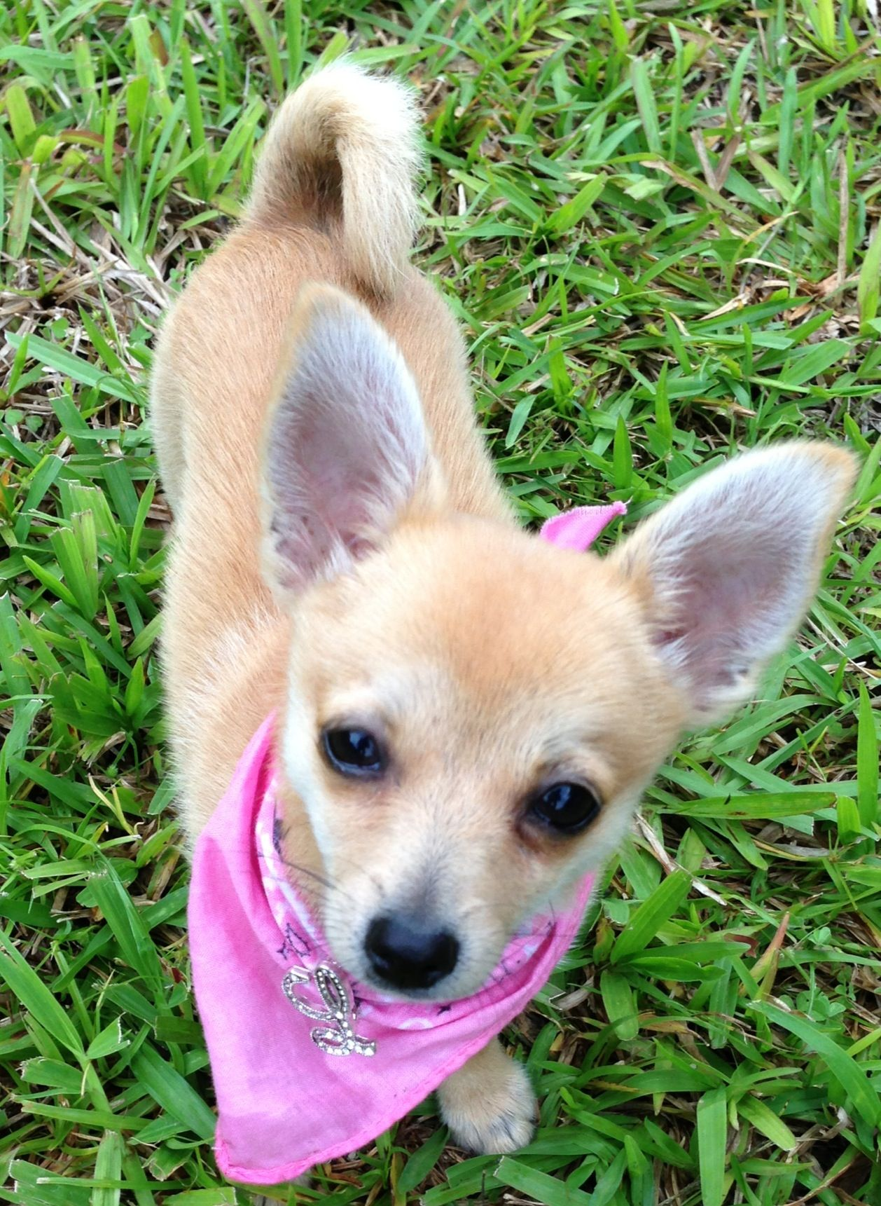 My Little Pomchi Lovey 6 Months Old Puppies Animals Lovey