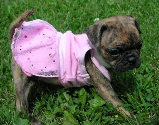 Pug Dog Breed Information, Pictures, Characteristics ...