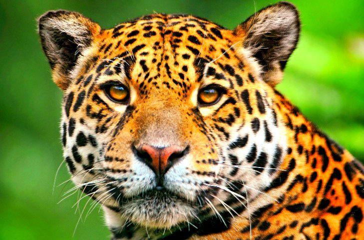 Resultado de imagen de jaguar