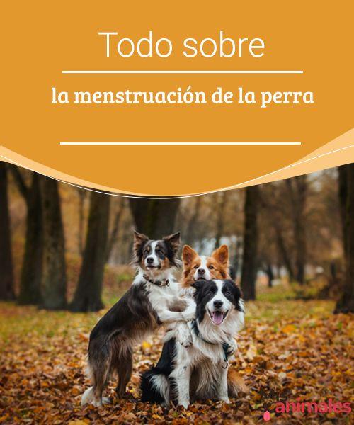Todo sobre la menstruación de la perra  ¿Sabías qué la menstruación de la perra tiene cuatro etapas ? Este artículo contiene información sobre cada una de esas fases, síntomas y algunos consejos. #fases #información #síntomas #salud
