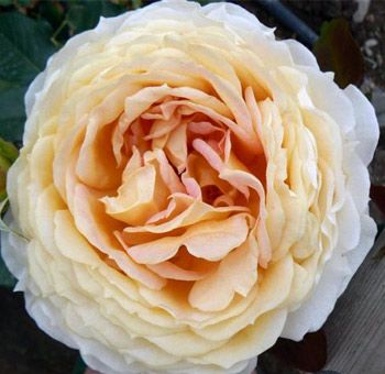 the peach bride garden rose