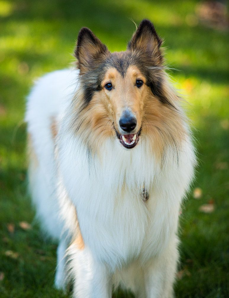 Pin On Rough Coat Collies