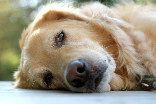 Bentley Best Dogs For Families Dogs Golden Retriever Beautiful