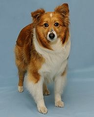 Adopt Hailey On Shetland Sheepdog Shetland Sheepdog Puppies Dog Love