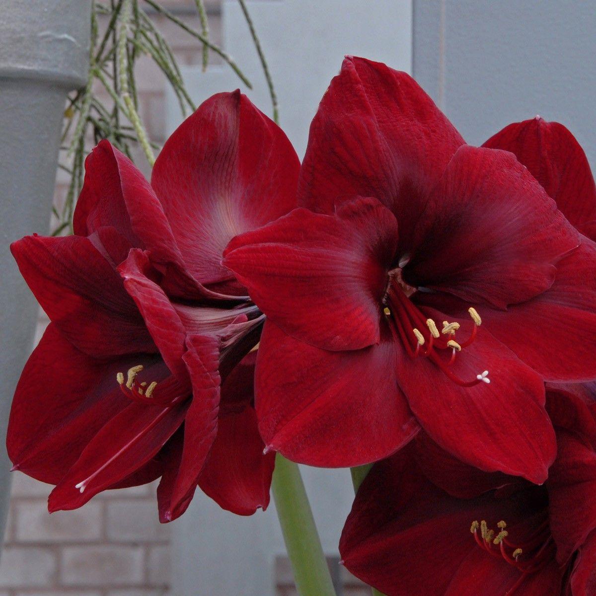 Amaryllis 39Carmen39 eine krftige Rote Farbe und groe