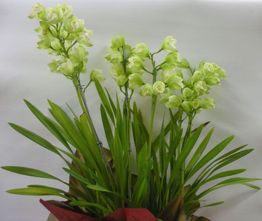 Cymbidium | Orquídea Cymbidium é na Alpha Flowers- Floricultura de Alphaville.
