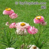 Helichrysum sp., Strawflower, Immortelle, Helichrysum  Click to see full-size image