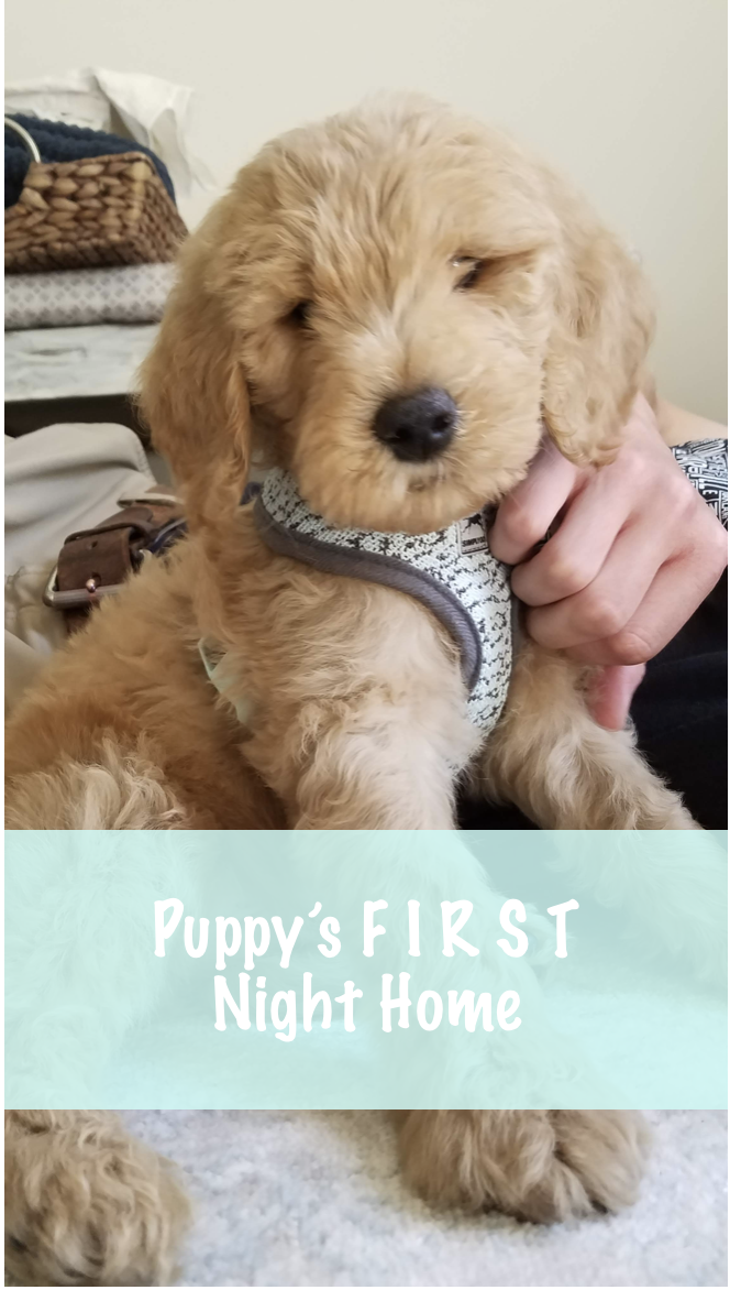 Our Goldendoodle First night with puppy, Puppies, Mini