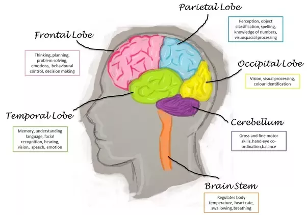 What Are The Four Lobes Of The Brain What Are Their Functions In 2020 Frontal Lobe Brain Lobes And Functions Brain Lobes