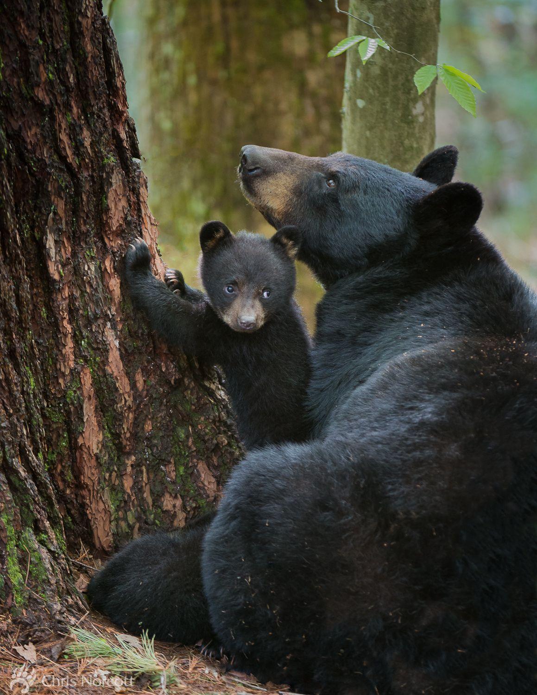 Image result for wild bear pix