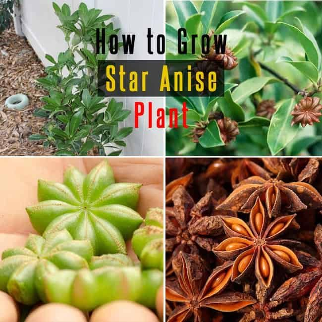 Photo of In this article learn how to grow Star Anise Plant. Star anise is used in Asian …