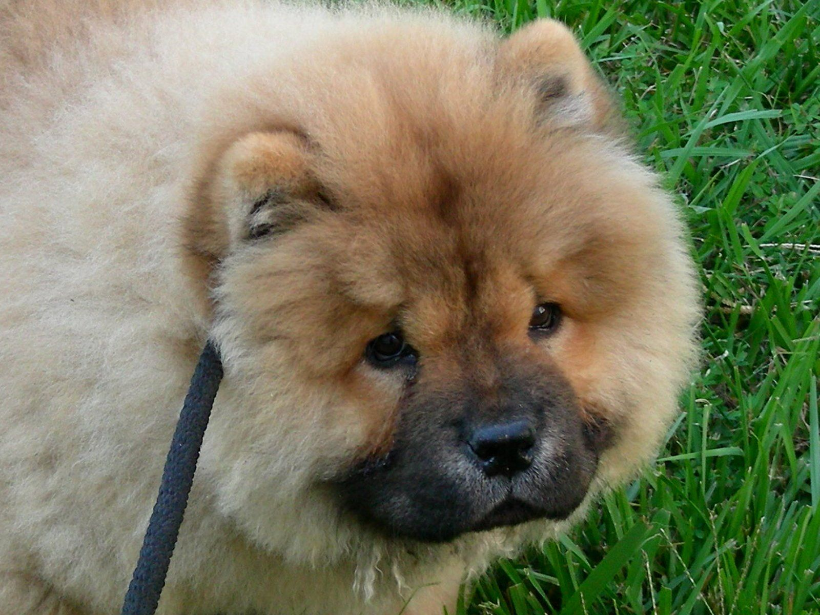 chow dog photo | mystic chowder festival sweet chow chow dogs
