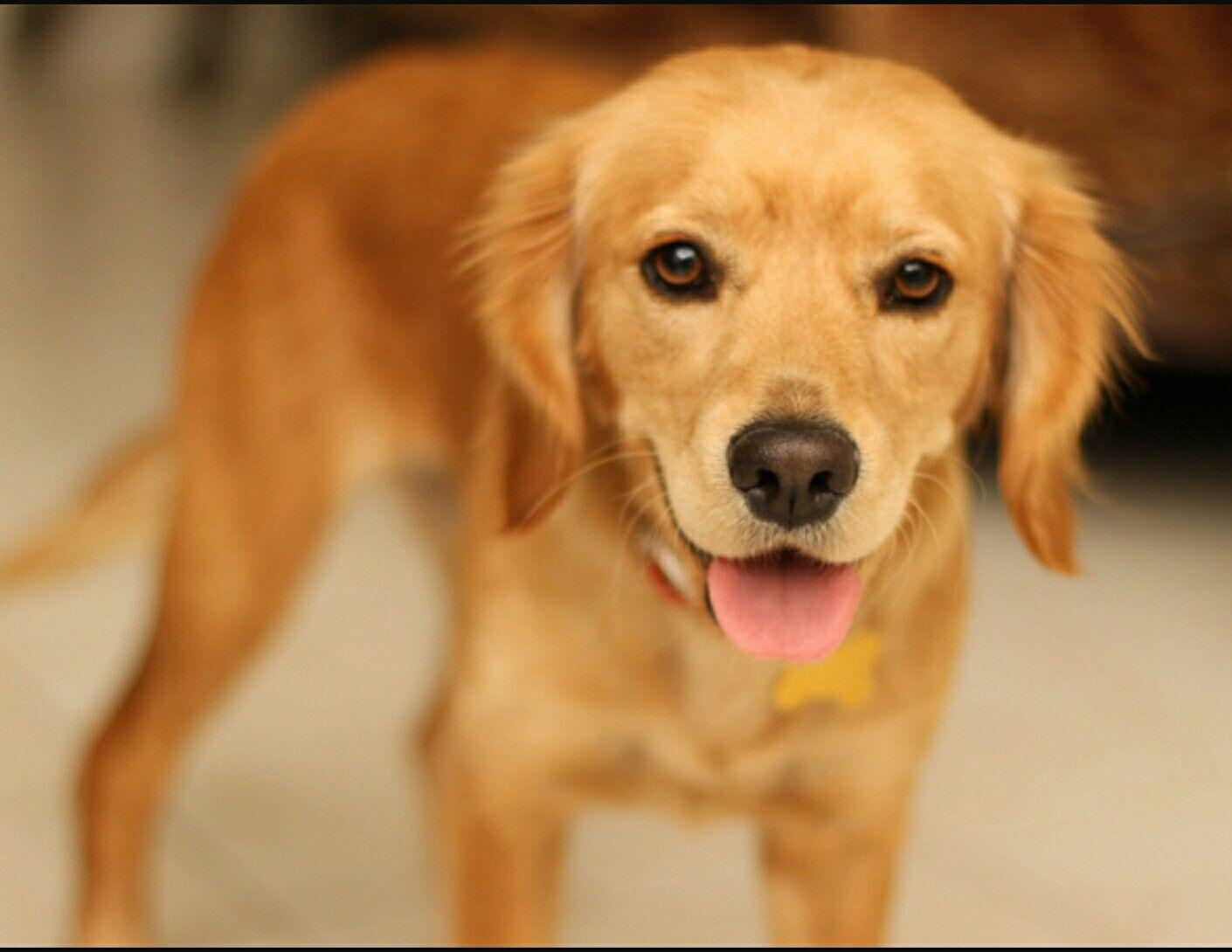 How Much Does A Red Golden Retriever Cost Ideas