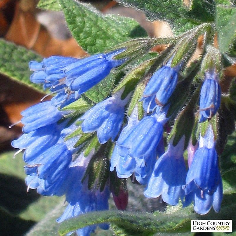 An Early Spring Flowering Perennial Symphytum Grandiflorum