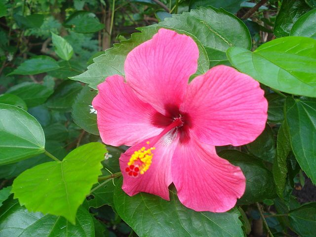 Hibiscus Leaves For Hair Care Hibiscus Leaves Hibiscus Beautiful Flowers