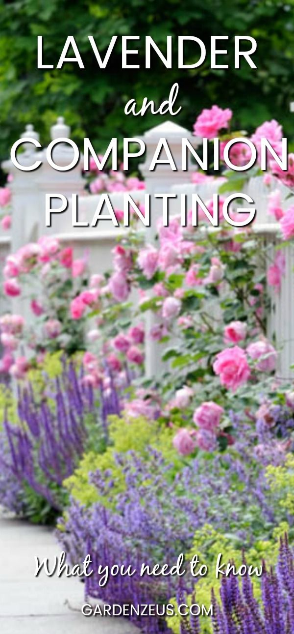 Lavender And Companion Planting Companion Gardening