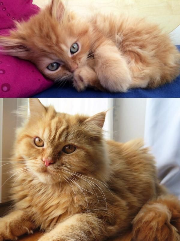 Eye Color Change 10 Weeks To 8 Months Http Ift Tt 2jmj0gb Eye Color Change Eye Color Kitten Eyes