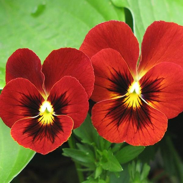 Red Tricolor Viola Pansy Flower Seeds Pansies Flowers Flower Seeds Pansies