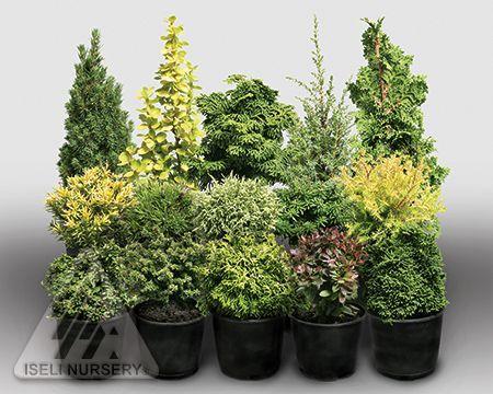 Nice Miniature Trees For Fairy Gardens   Miniatures