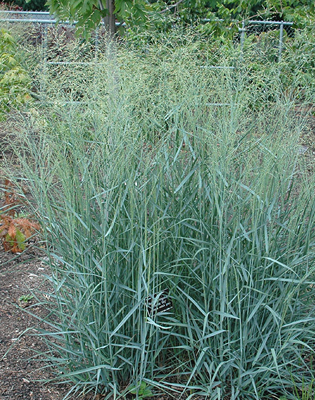 Ornamental Grasses Colorado Ornamental grasses colorado heidrichs part 2 landscape arch ornamental grasses colorado heidrichs part 2 workwithnaturefo