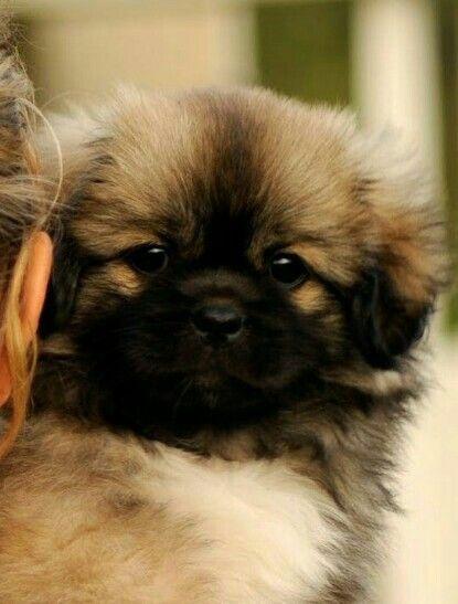 Beautiful Tibbie puppy Tibetan spaniel, Beautiful dogs