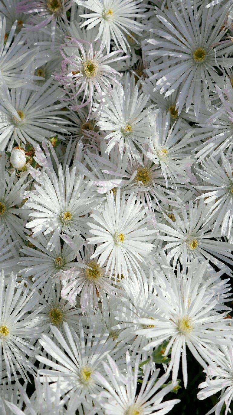White flowers daisies gardenvariety pinterest white white flowers daisies izmirmasajfo