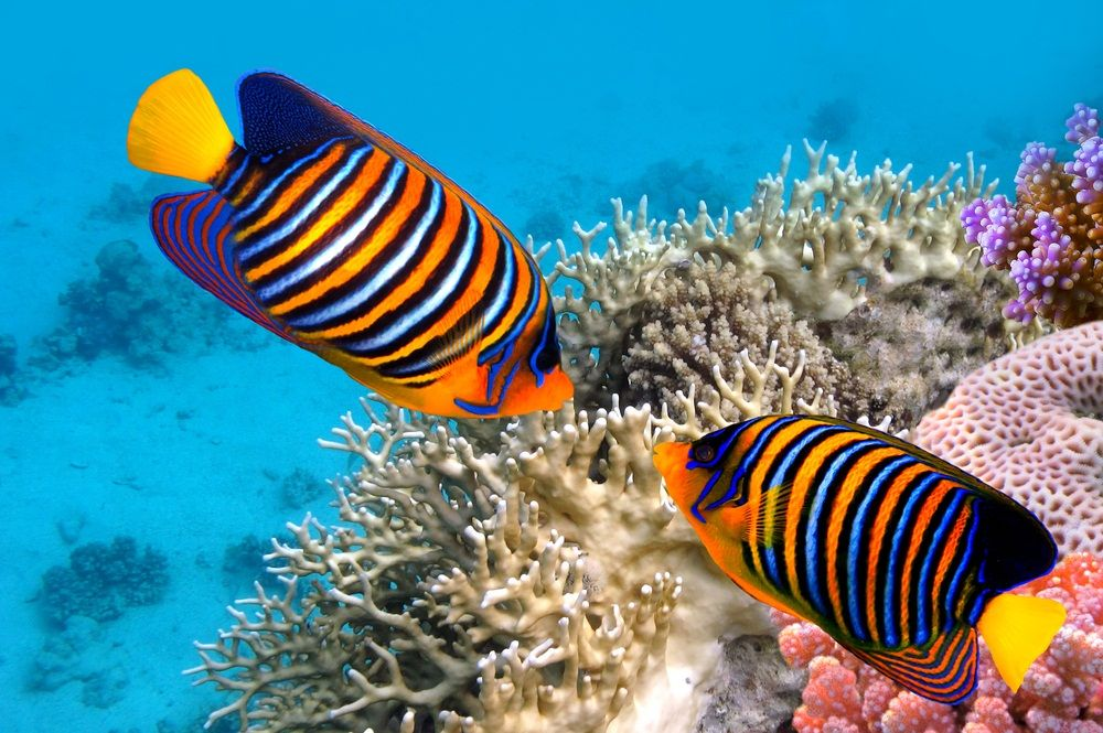 Angelfish are one of many beautiful species of fish that for Reef tropical fish