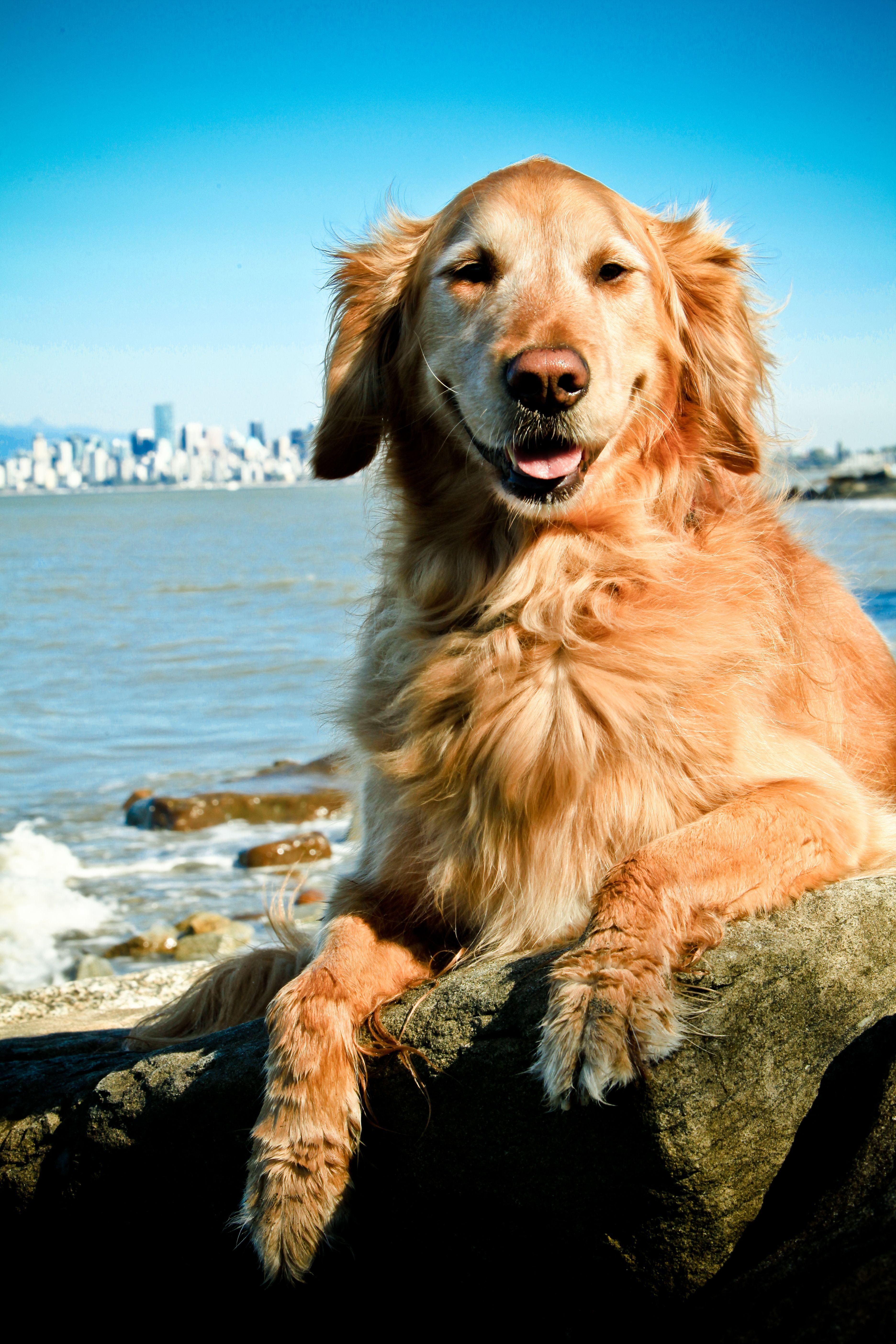 Lucie Golden Retriever Dog Smile Golden Retriever