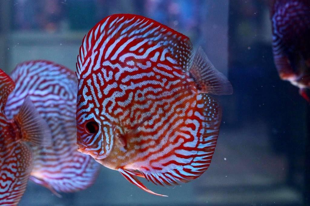 Photo Gallery Of Discus Fish Live Tropical Fish Live Tropical Fish In 2020 Discus Fish Fish Tropical Fish Aquarium