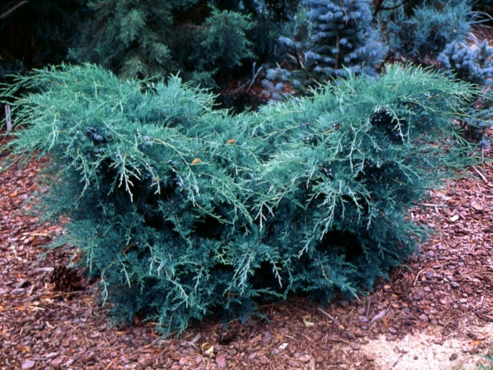 Grey Owl Juniper Juniperus Virginiana Grey Owl The Foliage On This Conifer Turns Purple In Win Low Maintenance Plants Easy Landscaping Easy Landscaping Diy