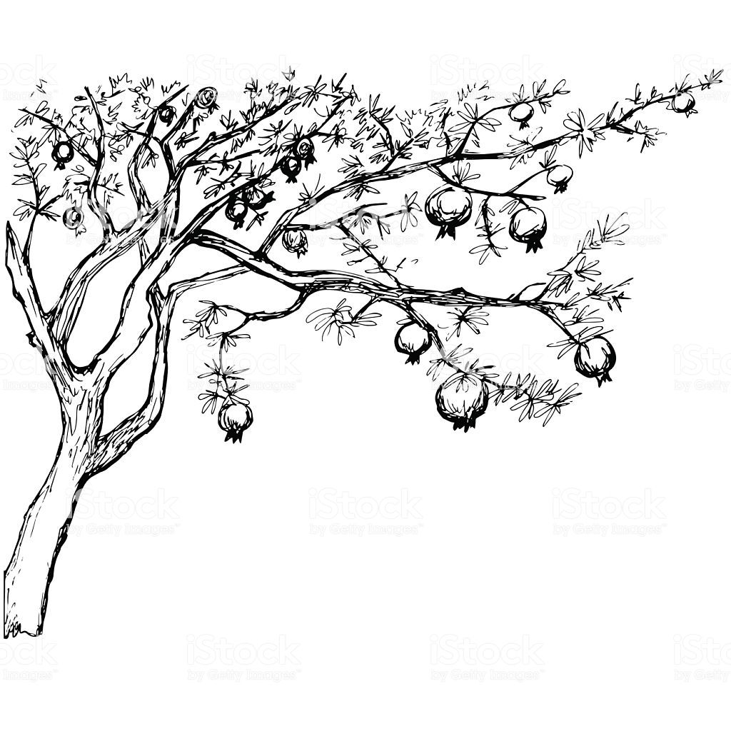 Hand Drawn Pomegranate Tree Vector Id
