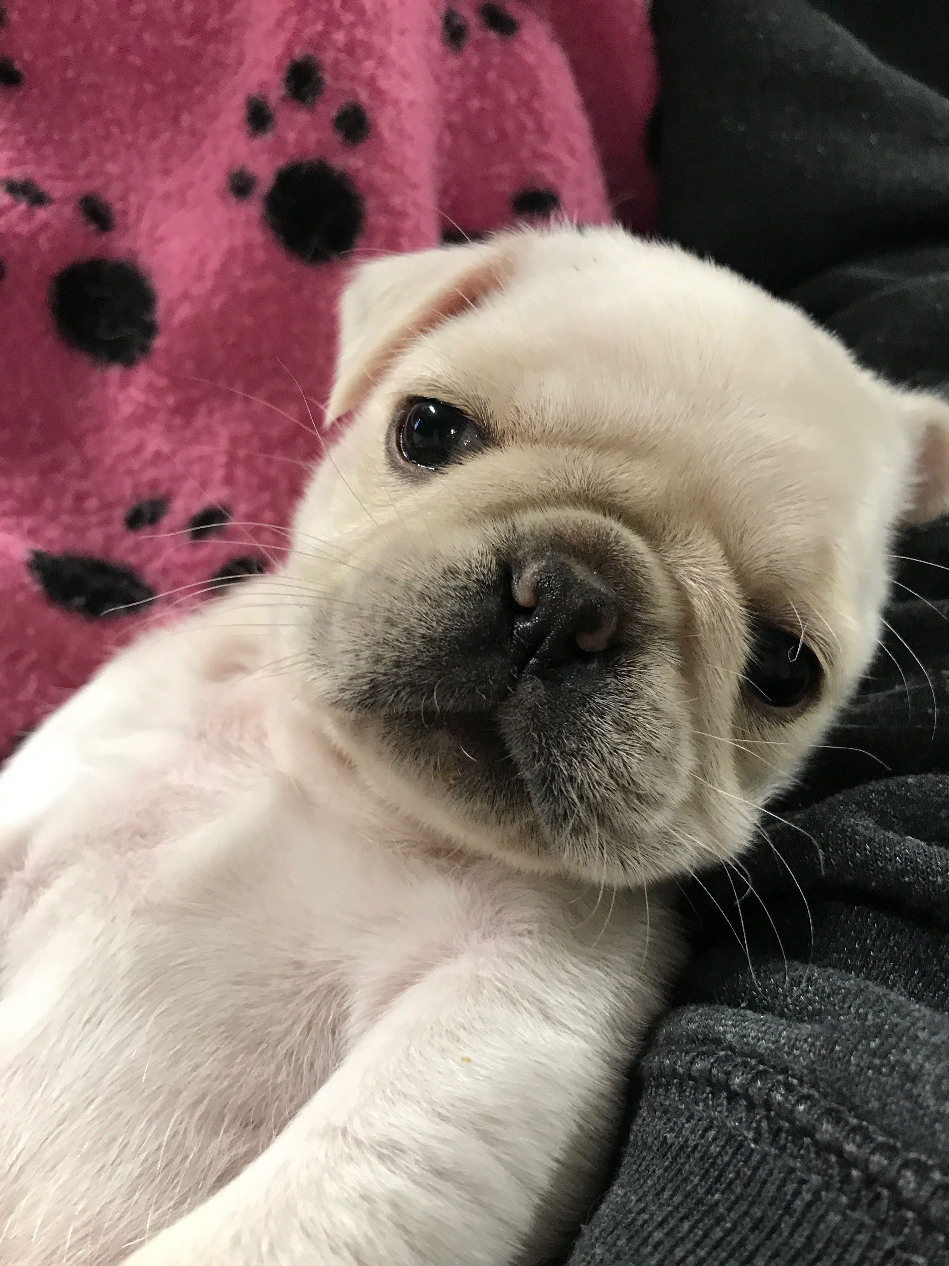Pin By Lindy Johnson On White Pug Puppies White Pug Puppies