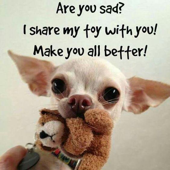 Top 21 Most Funniest Chihuahua Memes Chihuahua Love Chihuahua