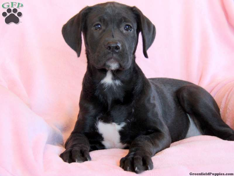 American Bulldog Lab Mix Labrador Mix Puppies For Sale In Pa