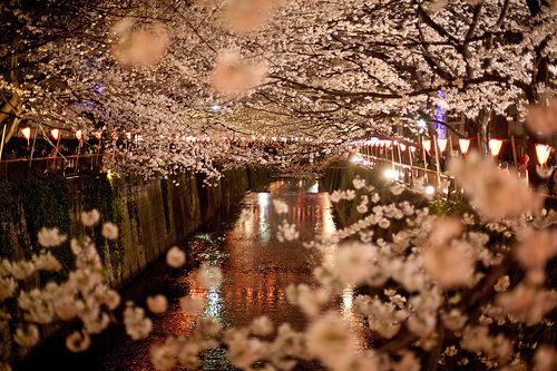 Pin By Catherine Martinet On Sparkly Twinkling And Shiny Japan Photo Cherry Blossom Blossom Trees